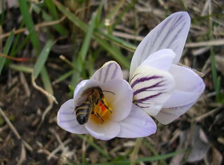 кубанская пчела