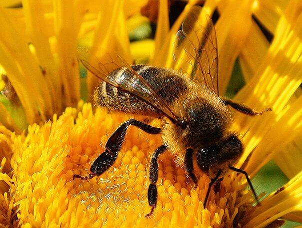 украинская пчела