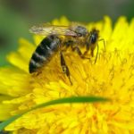 пчела на медоносе