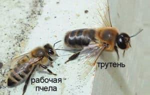 пчелы и трутни