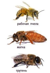 рабочая пчела, трутень и матка