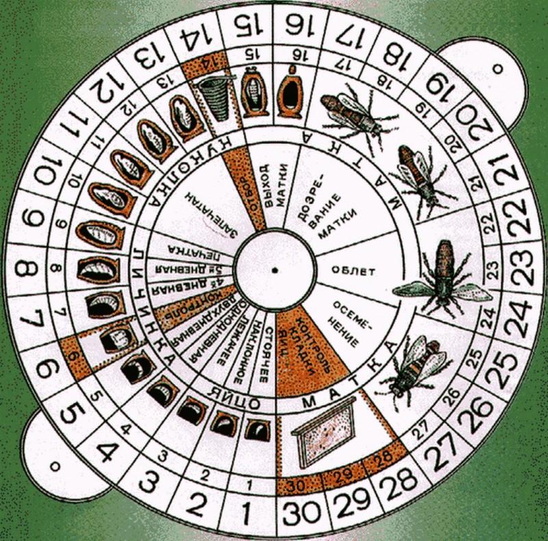 календарь выведения маток пчелы