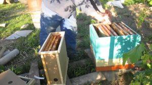 пересадка рамочного пчелопакета