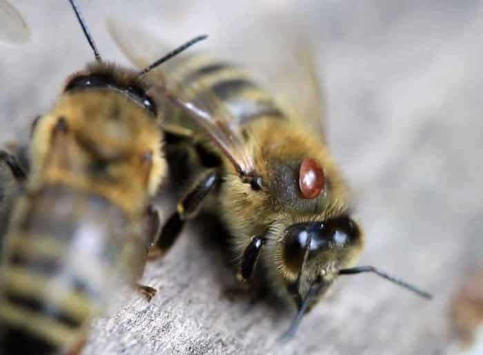 пораженная клещем пчела