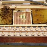соты для вывода пчелиных маток
