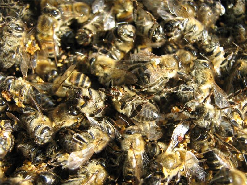 Настойка из подмора пчел на водке применение
