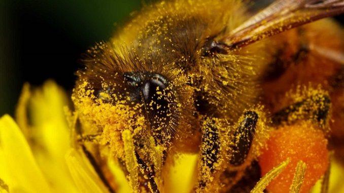пчела и пыльца