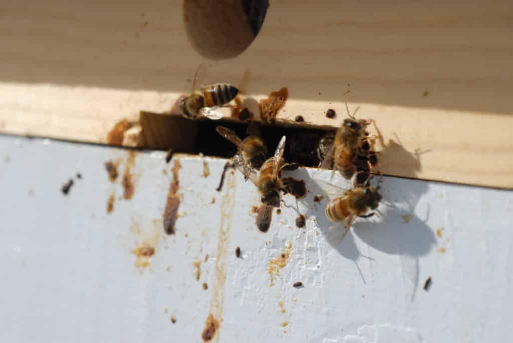 пчелы, зараженные нумезмотозом