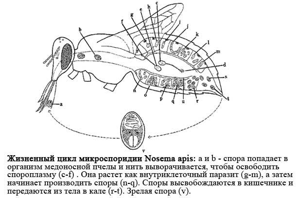 протекание номезматоза у пчел