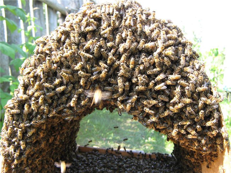 Пчелы рой