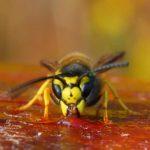 мед осы