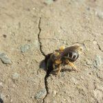 земляная пчела