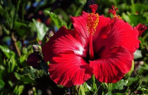 каркадэ цветок
